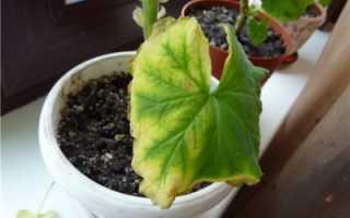 Почему желтеют листья у герани по краям