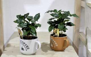 Комнатное растение кофе