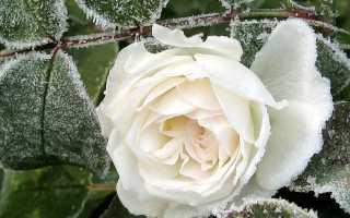 Розы укрытие