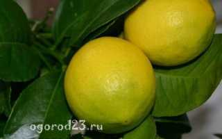 Уход за лимонным деревом в домашних условиях