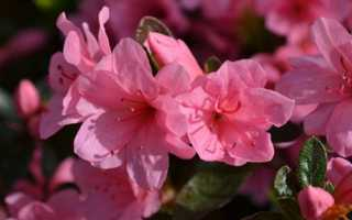 Азалия выращивание и уход в домашних условиях