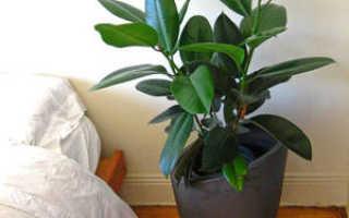 Как формировать фикус каучуконосный в домашних условиях