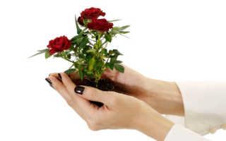 Роза из букета выращивание