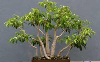 Комнатное растение фикус Бенджамина: фото, сорта и разновидности, уход в домашних условиях с пересадкой
