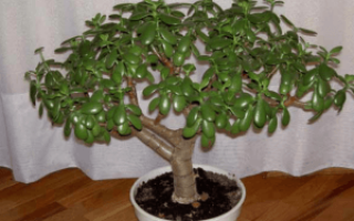 Денежное дерево пересадка