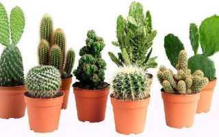 Как сажать кактус
