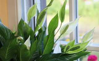 Как ухаживать за цветком спатифиллум