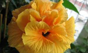 Гибискус желтый махровый