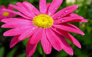 Цветы ромашки большие