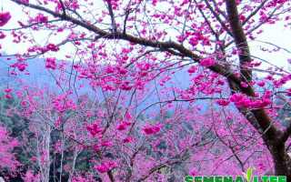 Как посадить семена сакуры