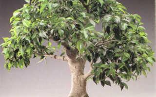 Как вырастить бонсай из фикуса