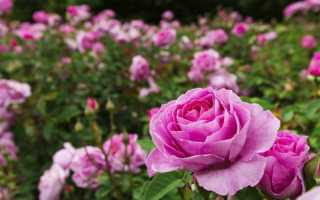 Когда лучше сажать розы