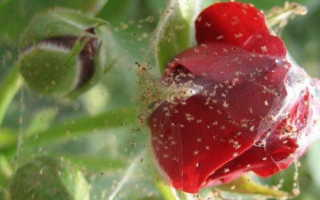 Паутинный клещ на розе: как бороться с паутинным клещом на домашних розах