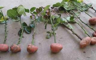 Выращивание роз в картошке