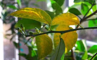 Почему желтеют листья на лимоне