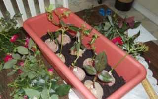 Вырастить розы в картошке