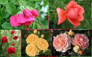 Розы постоянно цветущие сорта