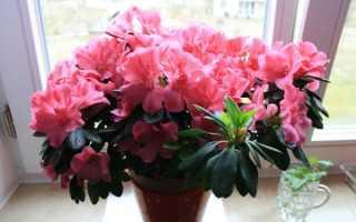 Неприхотливые комнатные цветы цветущие круглый год