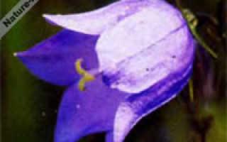 Цветок колокольчик: описание растения и фото некоторых садовых и дикорастущих видов
