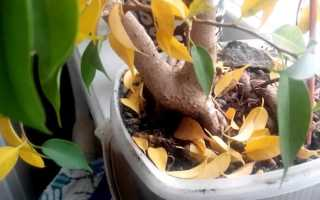 Фикус скидывает листья почему