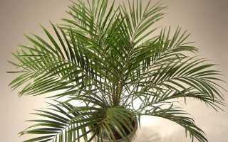 Финик растение