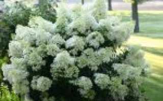 Гортензия бобо метельчатая описание
