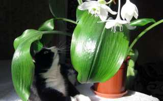 Комнатная лилия с широкими листьями