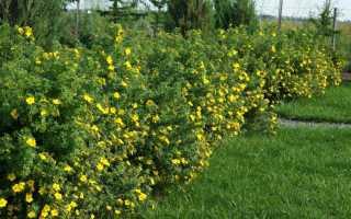 Лапчатка желтая кустарник