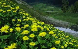 Желтая ромашка многолетняя