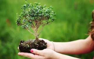 Выращивание бонсай в домашних условиях