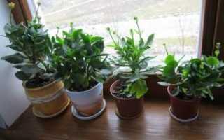 Как размножить каланхоэ в домашних условиях