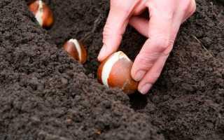 Выращивание луковичных цветов: посадка луковиц весной, уход, подкормка, размножение луковичных, болезни растений