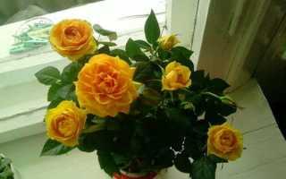 Роза мини микс уход в домашних условиях