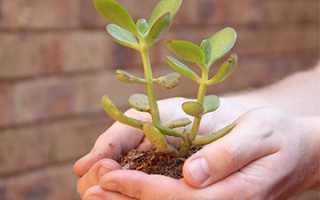 Денежное дерево лечебные свойства и противопоказания