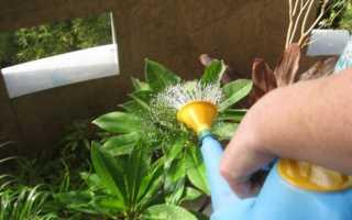 Как часто поливать фикус