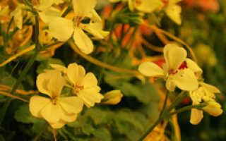 Желтая пеларгония