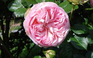Пьер ронсар роза