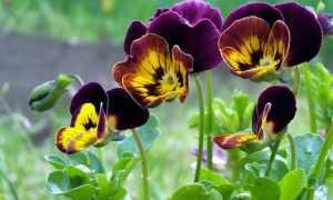 Цветы анютины глазки однолетние или многолетние