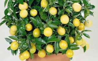 Лимон в горшке дома