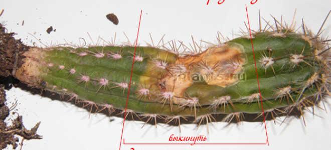 Размножение кактусов в домашних условиях