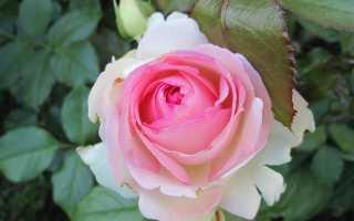Пьер де ронсар роза энциклопедия