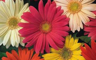 Комнатный цветок гербера Джемсона: уход, выращивание из семян – размножение и цветение