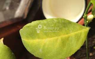 Почему желтеют листья лимона в домашних условиях