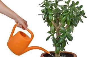 Сколько раз поливать денежное дерево