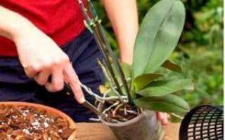 Как часто пересаживать орхидею