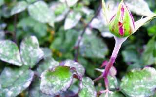 Средство от мучнистой росы на розах