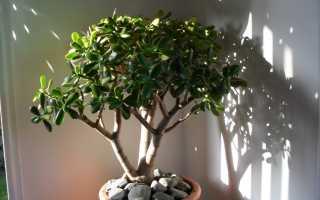Как называется денежное дерево по другому