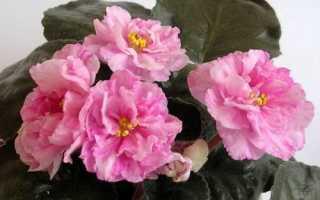 Мраморная роза фиалка