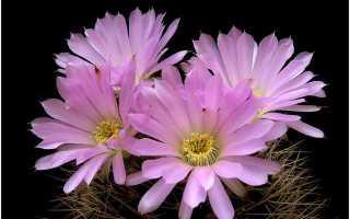 Красивые кактусы