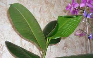 Почему у фикуса сворачиваются листья